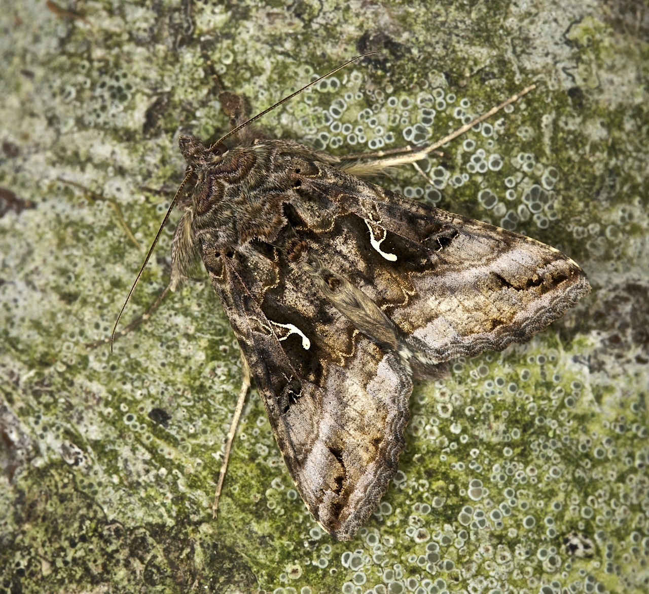 73 015 Silver-Y Moth, Autographa gamma, Co Louth