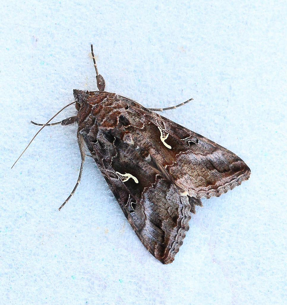 Silver-Y Moth, Autographa gamma, Co Donegal