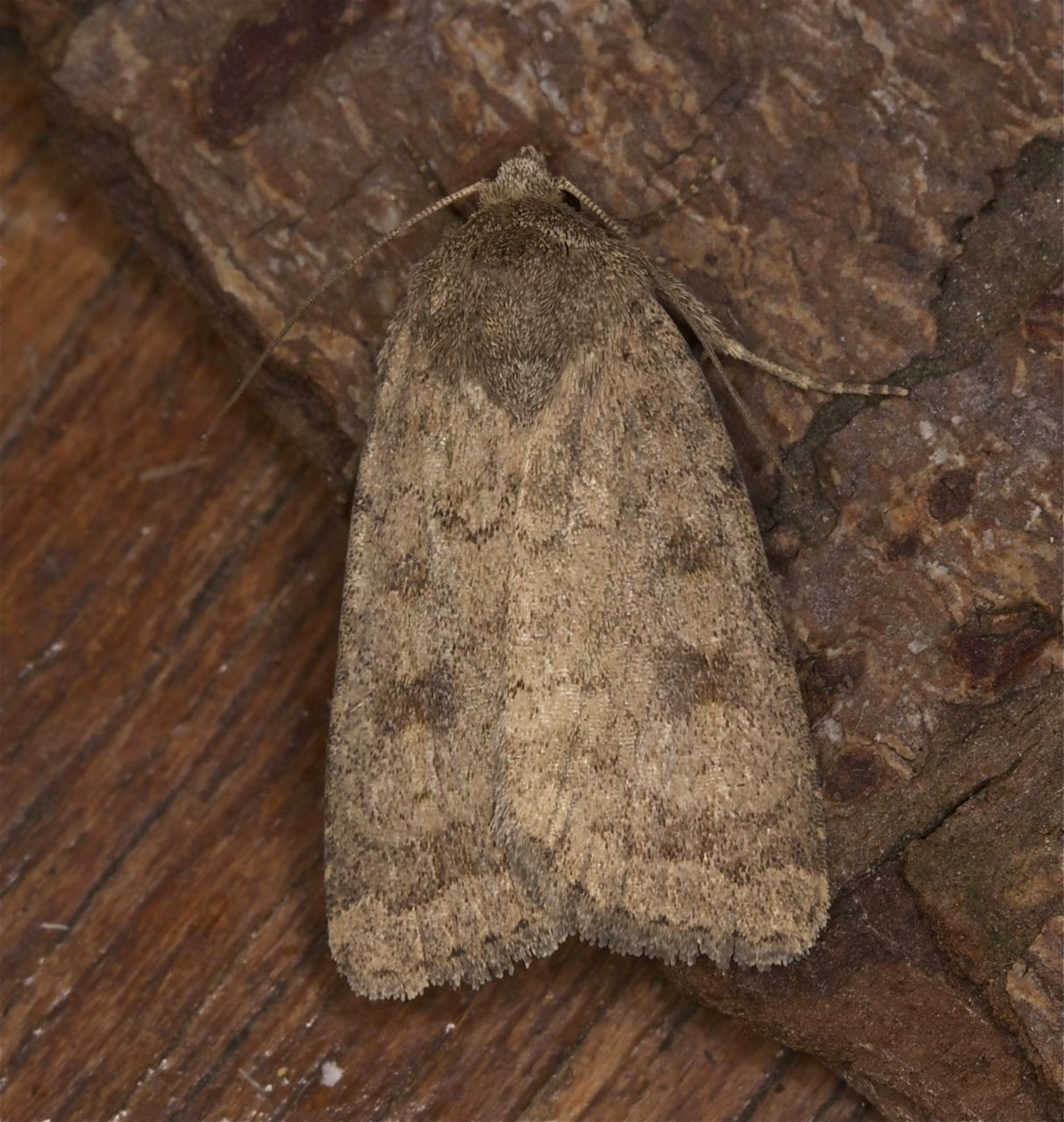 Mottled Rustic Caradrina Morpheus Co Louth