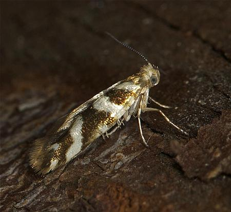 20.012 Argyresthia goedartella, Co Louth