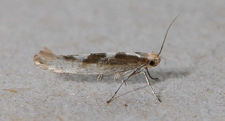 20.012 Argyresthia goedartella, Co Wexford
