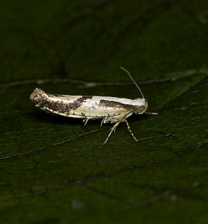 20.022 Argyresthia bonnetella, Co Louth