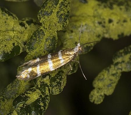 20.005 Blastotere trifasciata, Co Louth