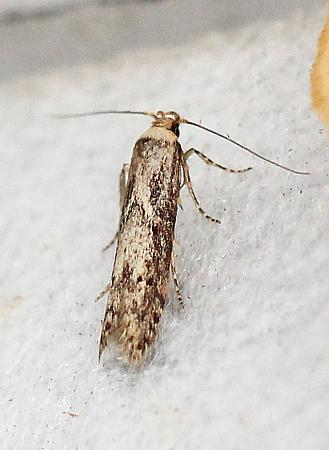 Blastobasis adustella, Co Donegal