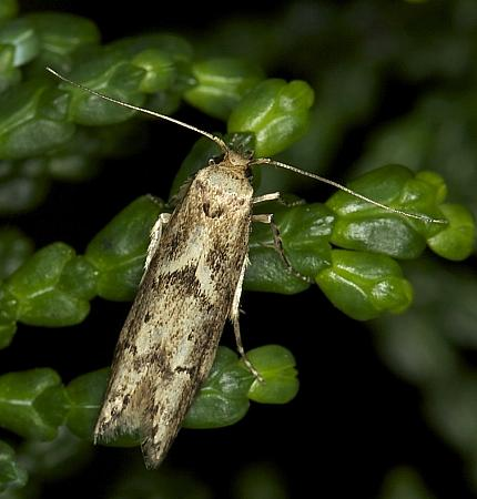 Blastobasis adustella, Co Louth