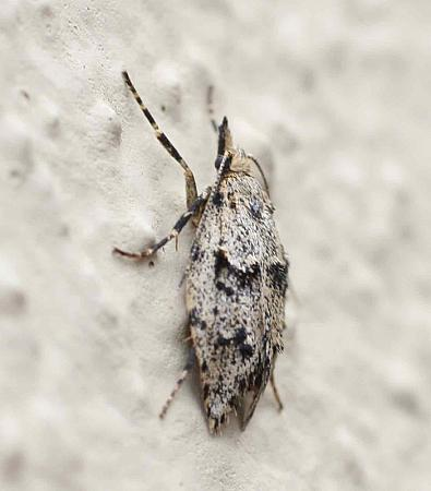 29.001 Diurnea fagella, female, Co Dublin