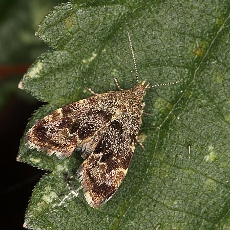 Anthophila fabriciana, Nettle-tap Moth, Co Louth