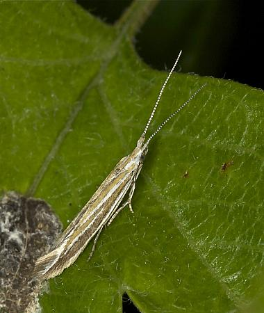 Coleophora albicosta, Co Louth
