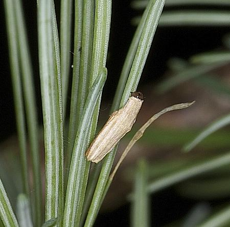 Larch Case-bearer, Coleophora laricella, Co Louth