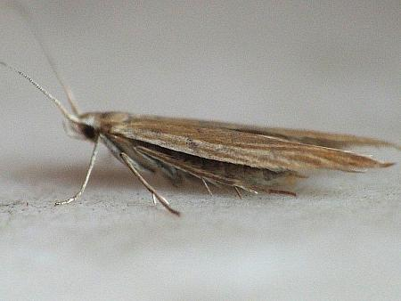 37.07 Coleophora tamesis, Co Westmeath