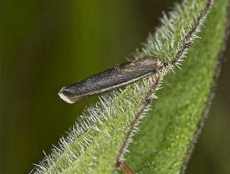 37.106 Coleophora paripennella, Co Louth