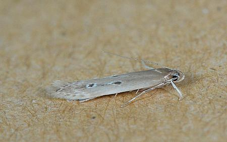 34.004 Limnaecia phragmitella, Co Wexford