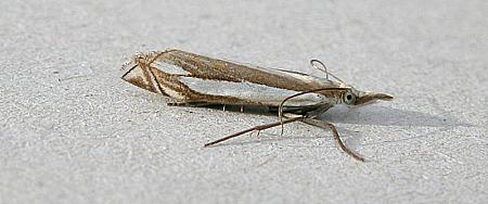 63.081 Crambus pascuella, Co Wicklow