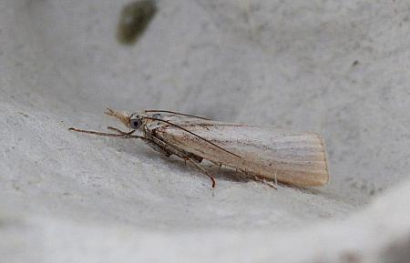 Crambus perlella, Co Donegal