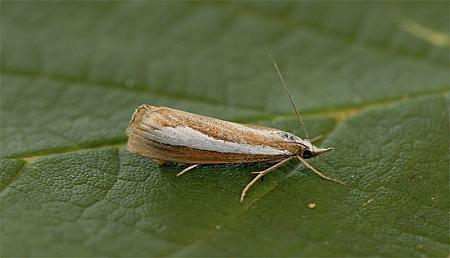 63.1 Catoptria margaritella, Co Wexford
