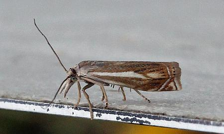 63.086 Crambus lathoniellus, Co.Donegal