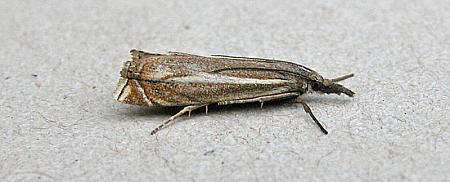 63.086 Crambus lathoniellus, Co Wicklow