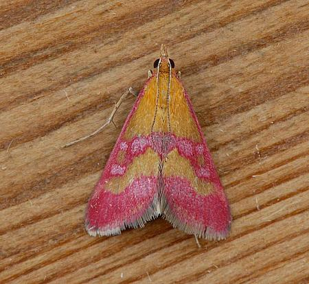 63.004 Pyrausta sanguinalis, Co Wexford