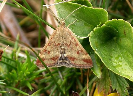 63.005 Pyrausta despicata, Co. Cork