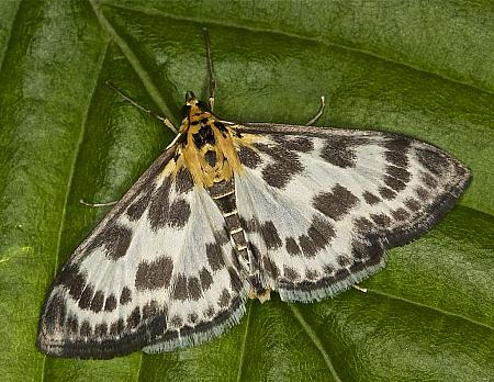63.025 Small Magpie Moth, Anania hortulata, Co Louth