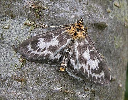 63.025 Anania hortulata, Small Magpie, Co Wicklow