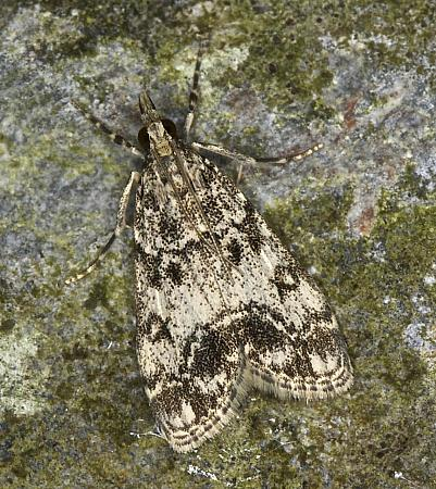 63.067 Eudonia lacustrata, Co Louth