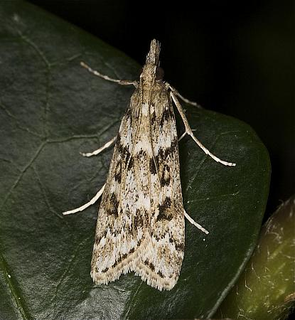 63.069 Eudonia angustea, Co Louth