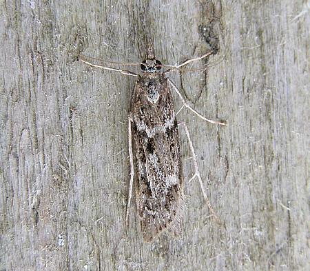 63.069 Eudonia angustea, Co Wexford