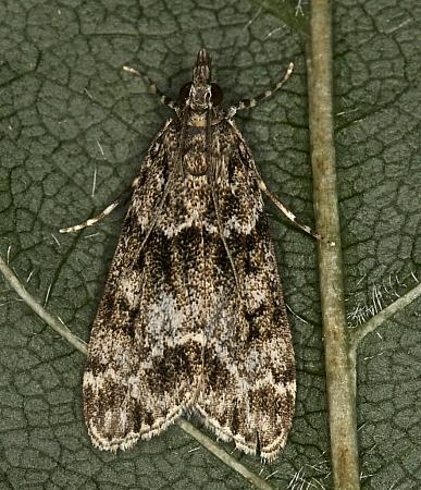 63.074 Eudonia mercurella, Co Louth