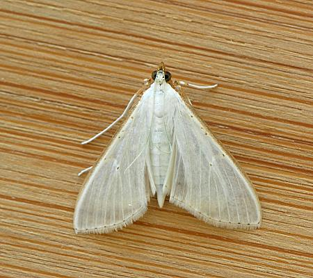 63.048 Palpita vitrealis, Co Wexford