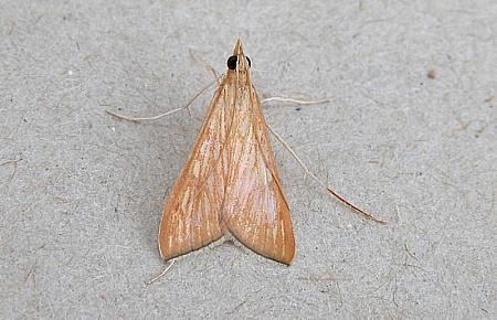 63.051 Antigastra catalaunalis, Co Wexford
