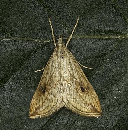 Garden Pebble, Evergestis forficalis, Co Louth
