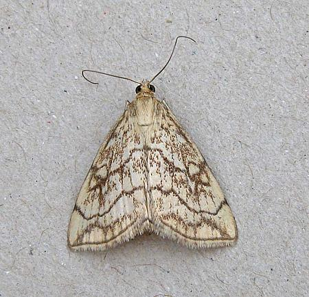 63.06 Evergestis pallidata, Co Wexford