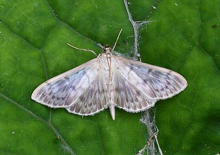 Mother of Pearl, Pleuroptya ruralis, Co Leitrim
