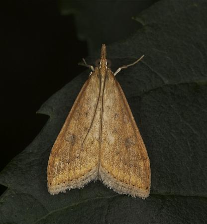 63.031 Rusty-dot Pearl, Udea ferrugalis, Co Louth