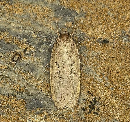 32.018 Agonopterix heracliana, Co Louth