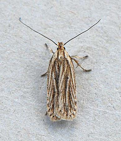 32.029 Agonopterix umbellana, Co Wexford