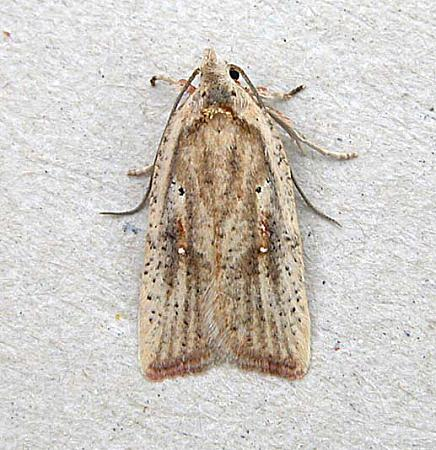 32.03 Agonopterix nervosa, Co Wexford