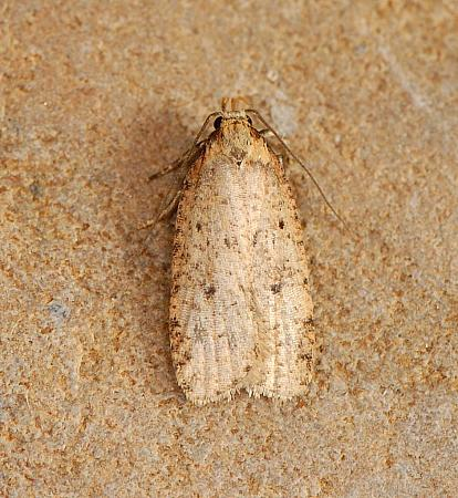 32.032 Agonopterix angelicella, Co. Wexford