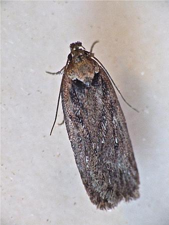 32.038 Depressaria badiella, Co Westmeath