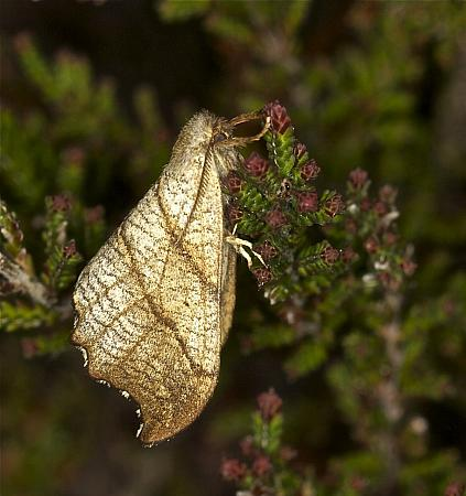 Scalloped Hook-tip, Falcaria lacertinaria, Co Louth
