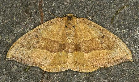65.003 Barred Hook-tip, Watsonalla cultraria, Co Louth
