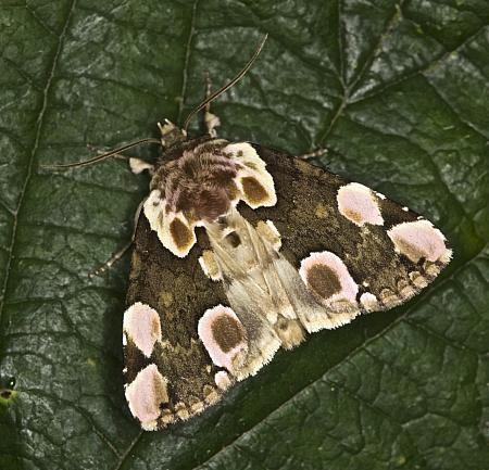 65.008 Peach Blossom, Thyatira batis, Co Louth