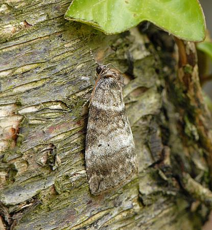 65.013 Common Lutestring, Ochropacha duplaris, Co Wexford