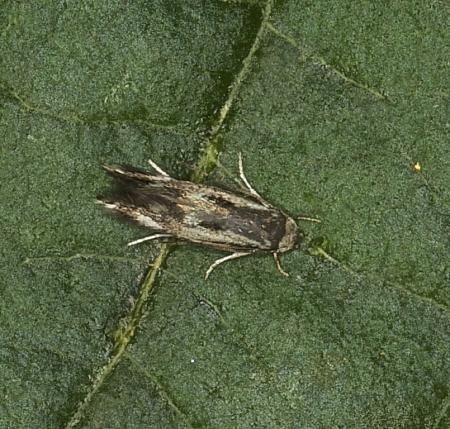 38.045 Elachista utonella, Co Louth