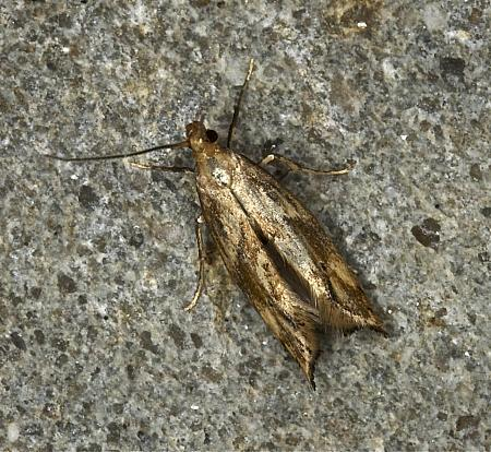 47.006 Epermenia falciformis, Co Louth
