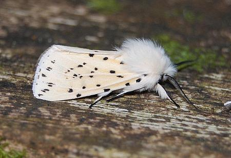 72.02 White Ermine, Spilosoma lubricipeda, Co Sligo