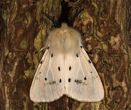 72.022 Muslin Moth, Diaphora mendica, Co Louth