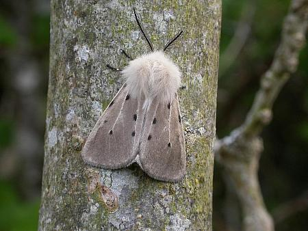 72.022 Muslin Moth, Diaphora mendica, Co. Clare