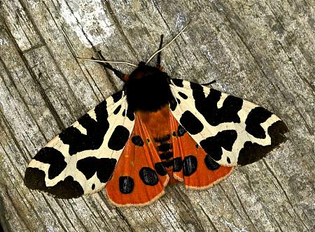 72.026 Garden Tiger, Arctia caja, Co Louth